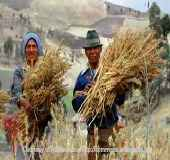 Natives harvesting quinoa for quinoa recipes